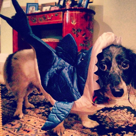 my dog, Henri, in a shark costume